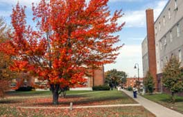 red tree on campus